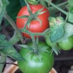 pali a spirale per pomodori